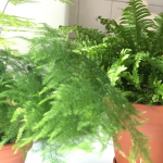 boston and asparagus fern