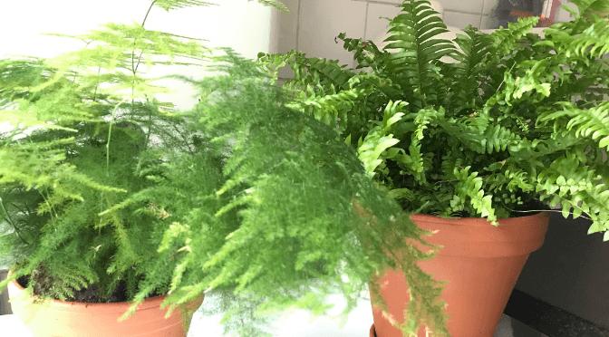 aaparagus fern and boston fern