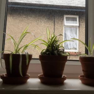 3 spider plants