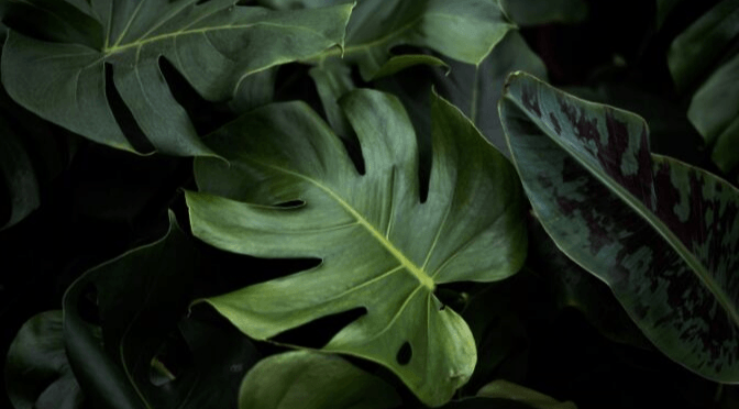 Why is my house plant dropping leaves?