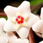 hoya bloom