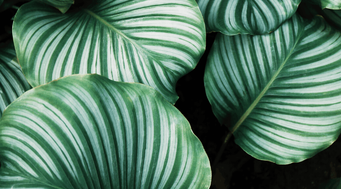 Plant Profile: How to care for…Calathea
