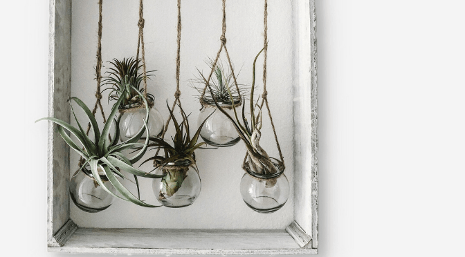 hanging air plants