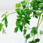 coriander in pot