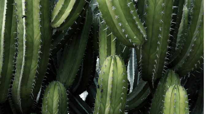 Plant profile: how to care for…cacti