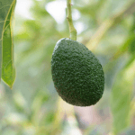 avocado growing on a tree