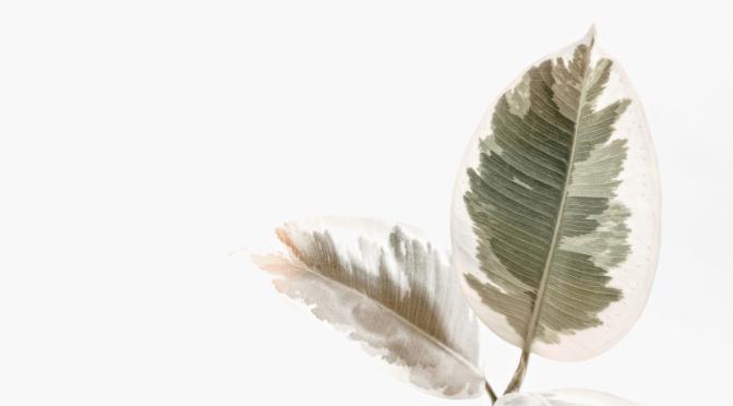 variegated ficus robusta