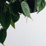 jade pothos