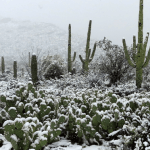 cacti in the snow