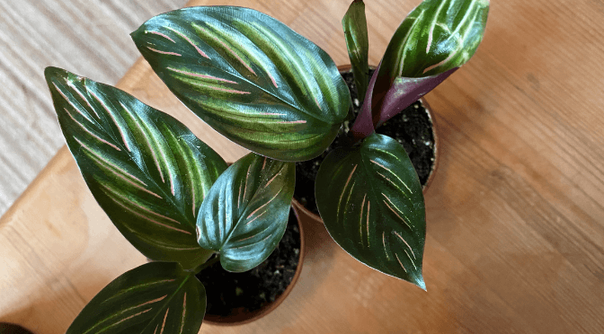 two calathea beauty stars