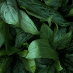photo of dieffenbachia leaves