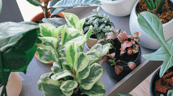 Plant Profile How To Care For Peperomia Planet Houseplant