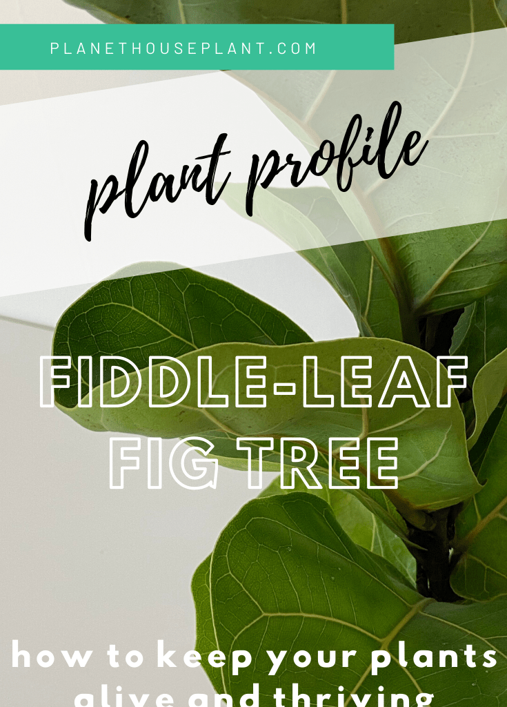fiddle leaf fig tree with text overlay