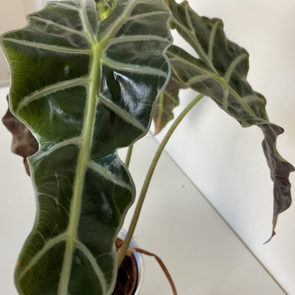 alocasia amazonica