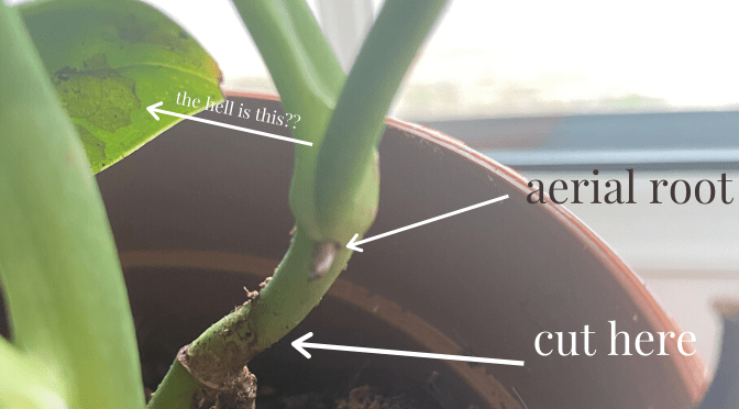 shows where to make the cut to propagate a monstera