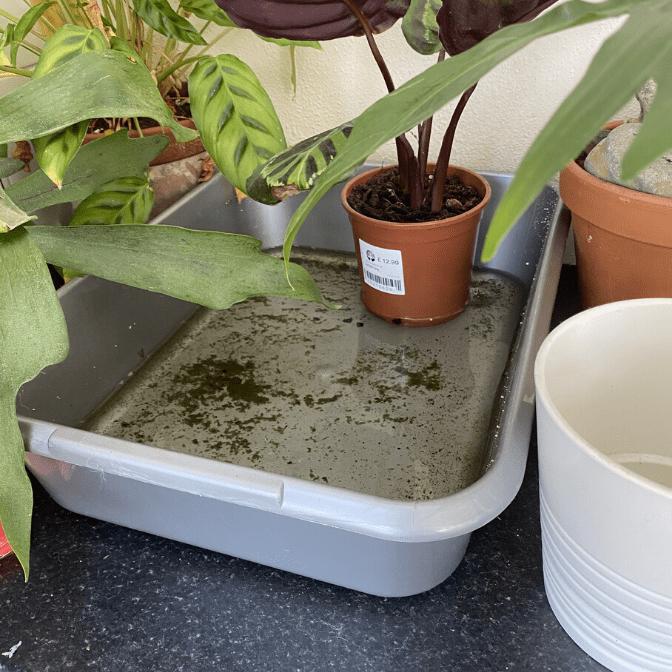 calathea bottom watering