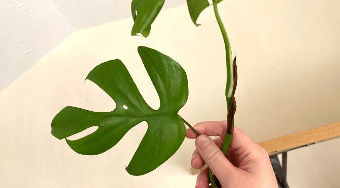 rhapidophora tetrasperma