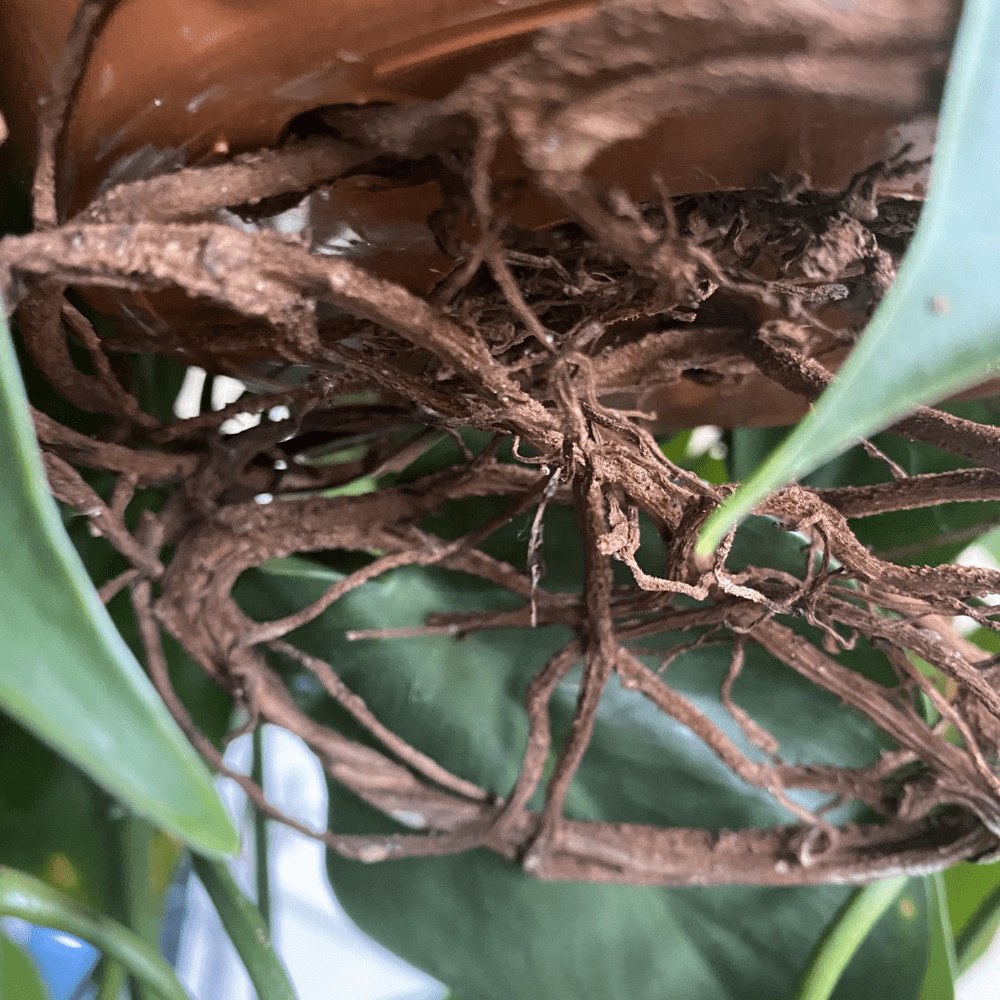 philodendron scandens root