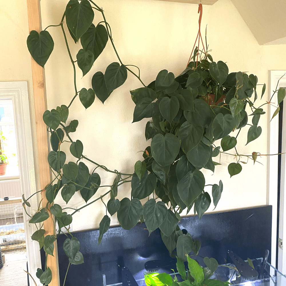 philodendron scandens above aquarium