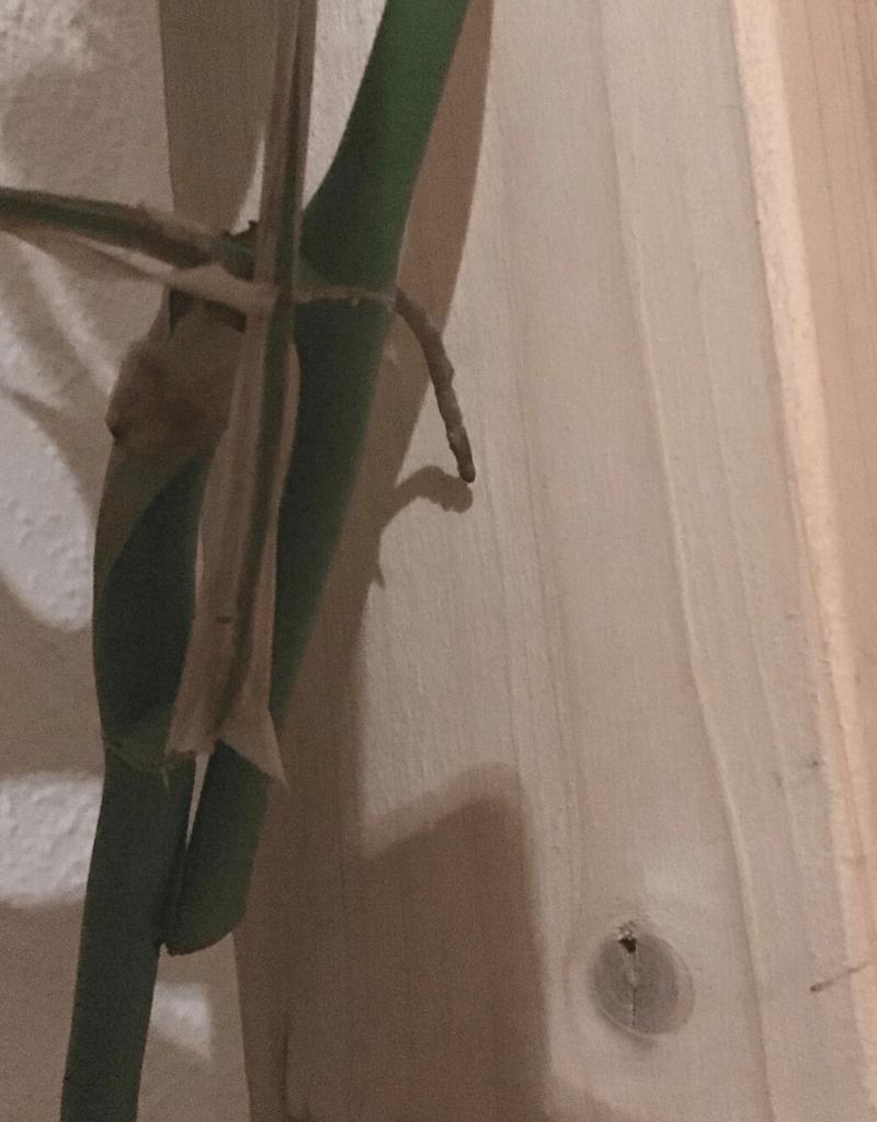 Rhaphidophora tetrasperma new growth after taking a cutting