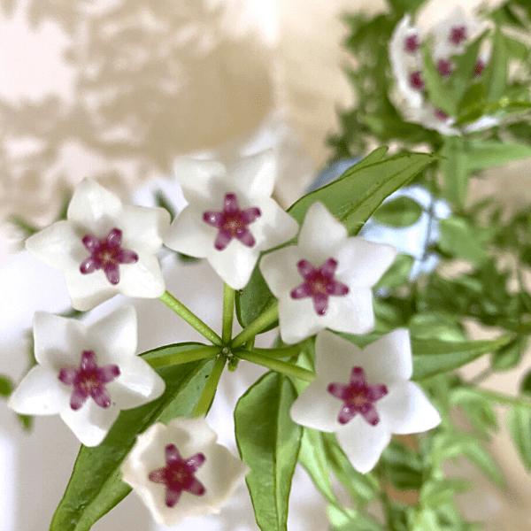 hoya bella in bloom