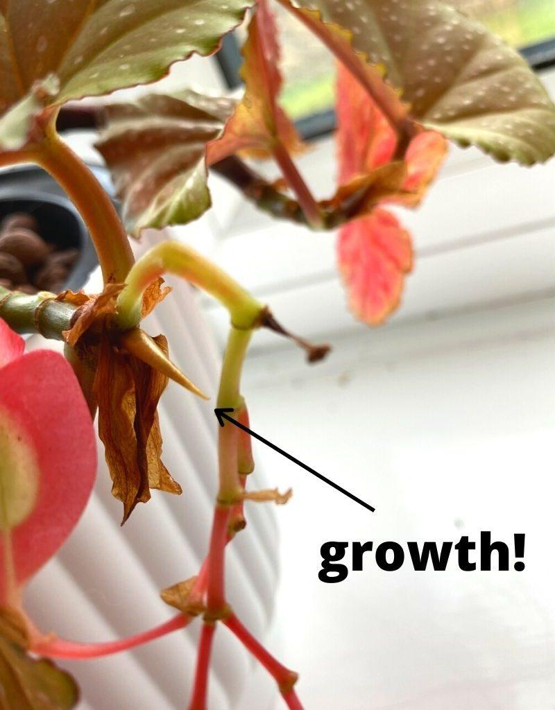 begonia in leca